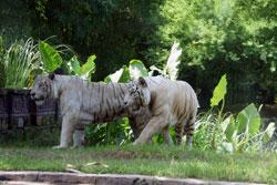 macan putih bali safari